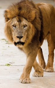 lion_prowling